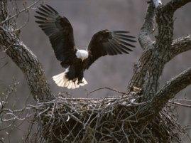 toft-roy-aguila-calva-americana-volando-hacia-su-nido